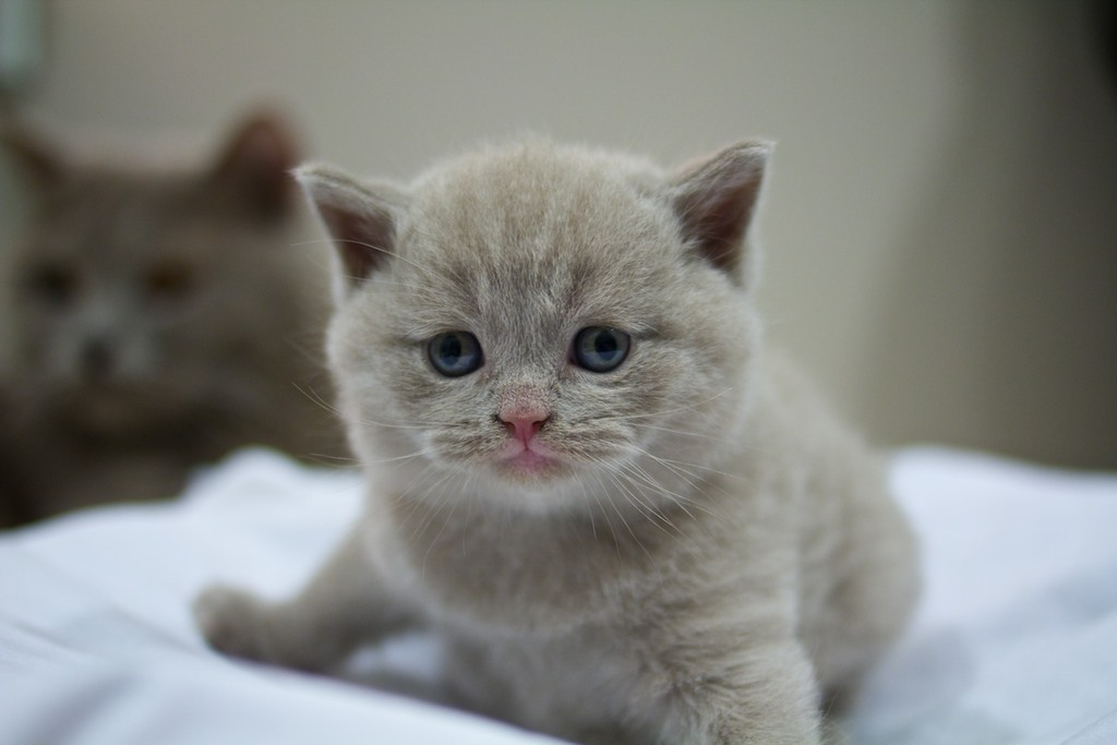 The Tails Of Two Kitties The British Shorthair And