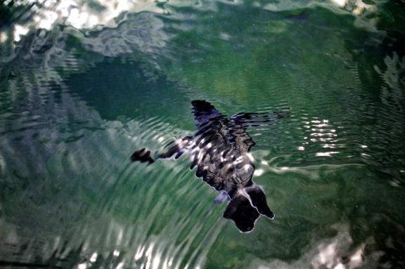 Juvenile Olive Ridley turtle, Nicoya Peninsula, Costa Rica. © Michel Botman Photography, 2013.